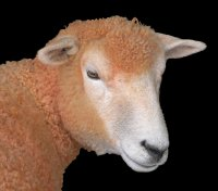 Big Orange Sheep